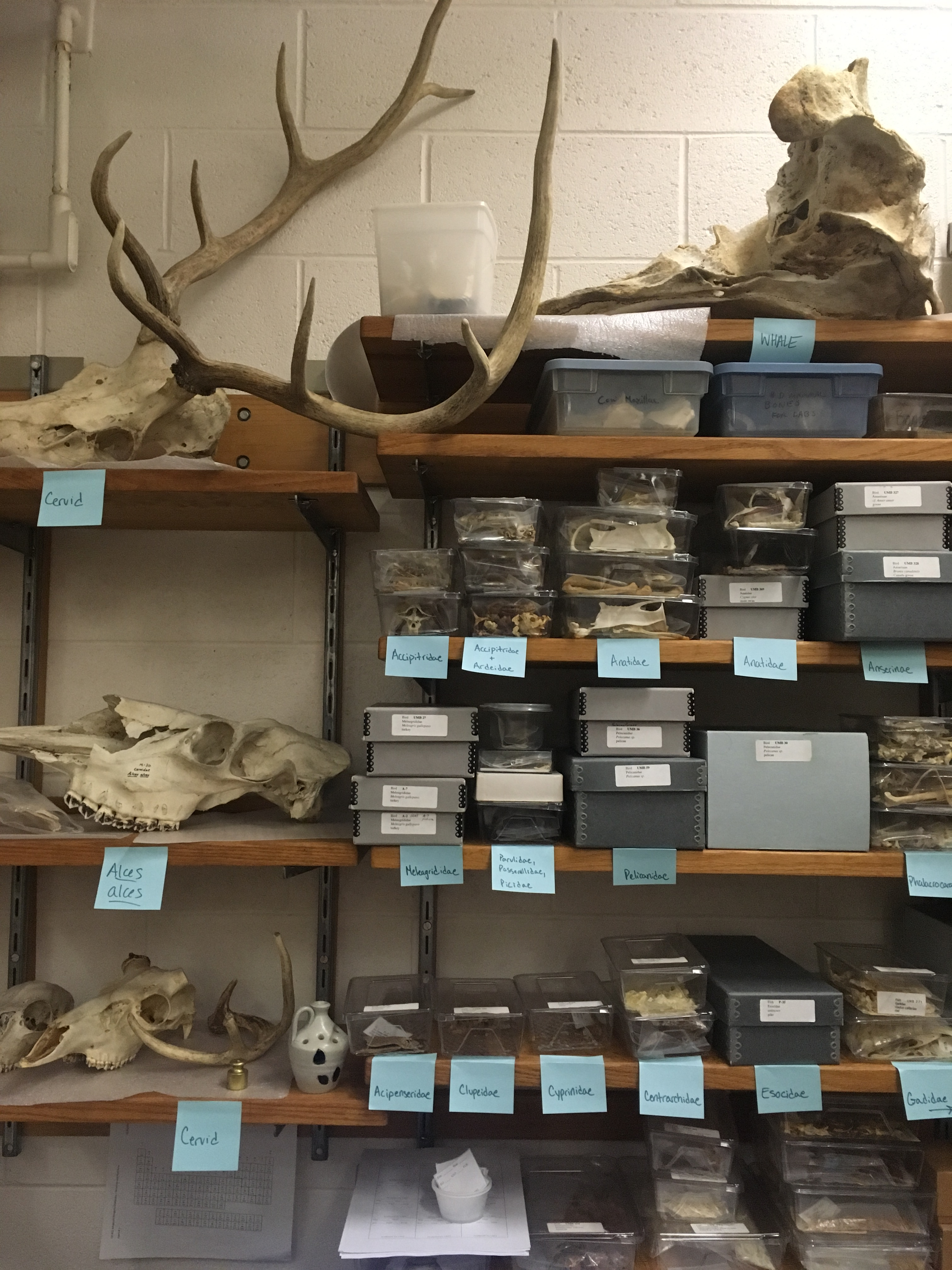 Image of shelving unit containing dozens of skeleton boxes of bird and fish, as well as the skull of a whale, two deer, and moose
